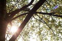 Sun through spring-leaves by Alex Voorloop