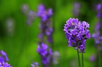 Lavendel by Wolfgang Dufner
