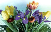 Tulipa-h3208