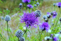 märchenhafte Flockenblumen  von tinadefortunata