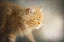Ginger-tabby