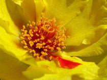 Yellow Moss Rose by starsania