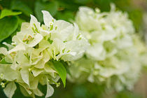 Bougainvillea - White von reorom
