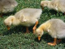 Baby Goslings von starsania