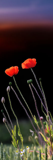 Mohn  by Jake Playmo