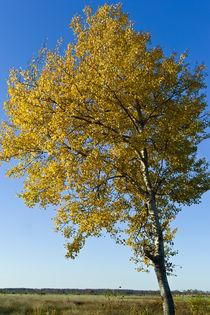 populus tremula (zitterpappel) von helmut krauß