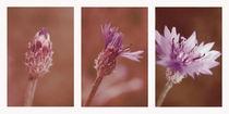 Kornblumen Vintage von Christine Bässler
