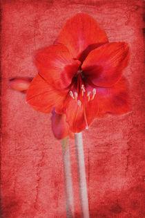Amaryllis by Christine Bässler