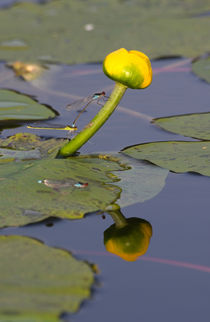 Water lily by photogatar