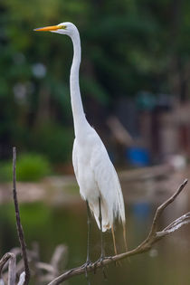 Great Egret by Craig Lapsley