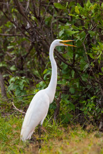 Great Egret standing on land von Craig Lapsley