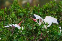two white Ibis's by Craig Lapsley