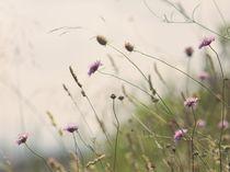 Stems von papallonari