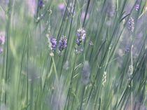Lavender stems by papallonari