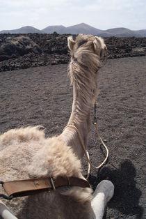 dreaming camel von daniela-ifrim