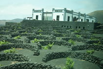 Vines growing in volcanic lapilli by daniela-ifrim