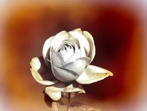 White Rose -2- by Christine  Hofmann