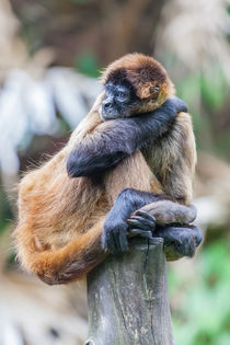 bored looking Spider Monkey von Craig Lapsley