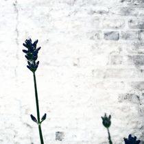 Lavender by Kai Bergmann