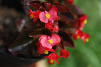 Little Red Flowers in a Pot von olgasart