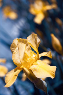 Growing Yellow Irises by olgasart