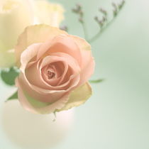 pastell rose °2 von syoung-photography