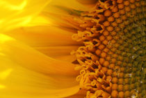 Sonnenblume - Sunflower by ropo13