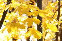 Gelber Ahorn von alsterimages