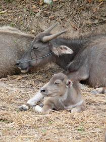 Wasserbüffel mit einem Kälbchen by pictaria