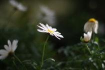 Daisies by papallonari