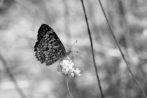 Butterfly on scabiosa by papallonari