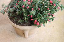 Fuchsia by papallonari