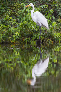 Great egret reflection by Craig Lapsley
