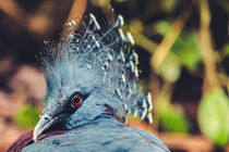 Southern Crowned Pigeon von Daniel Walsh