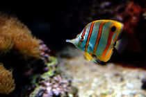 Copper-Banded Butterfly Fish by Kathleen Stephens