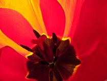 Innenleben einer Tulpe by pictaria