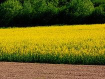 Rapsfeld im Frühling von pictaria