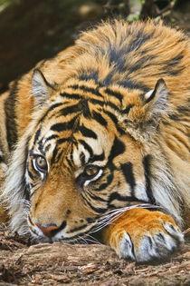 Sumatran Tiger by David Pringle
