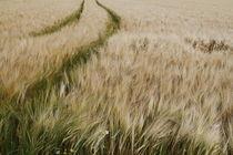 Weizenfeld von Jens Berger
