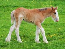 Shire Horse Foal Standing by John McCoubrey