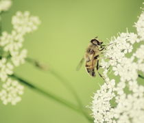 Honey Bee von syoung-photography