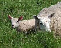 Cheeky Lamb by John McCoubrey