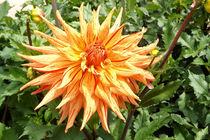 Kaktus-Dahlie von lorenzo-fp
