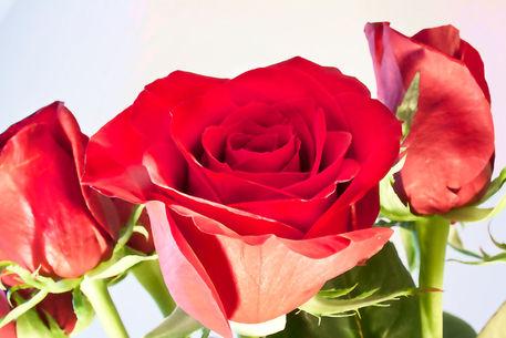 Rose-artistry