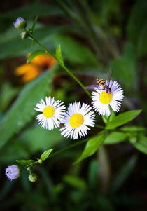 Lovely Daisies and a Bee von olgasart