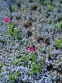 Pinke Tulpen in Männertreu badend by Silke Bicker