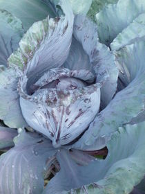 Blaukraut oder Rotkohl? von Silke Bicker