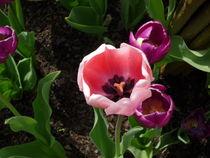 Tulpen  von Silke Bicker