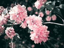 Pink Blossoms by olgasart