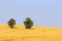 Bäume im Feld by Wolfgang Dufner